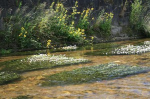 Stream water-crowfoot flow shapin