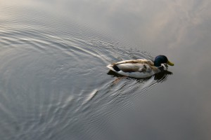 Wake spreading after duck